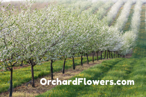 OrchardFlowers.com at BigDad Brand names Start-up Business Brand Names. Creative and Exciting Corporate Brand Deals at BigDad.com